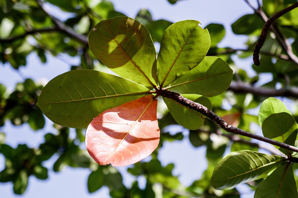 feuilles de catappa