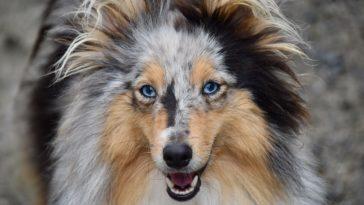 chien regarde dans les yeux