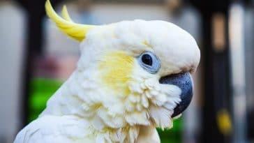 oiseau perroquet cacatoès