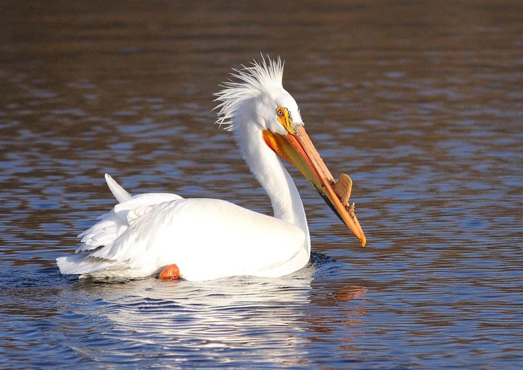 pelican d'amérique