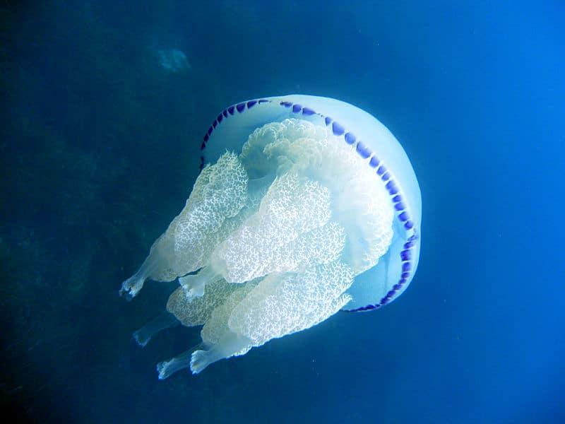 méduse chou fleur