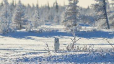 arctique renard polaire