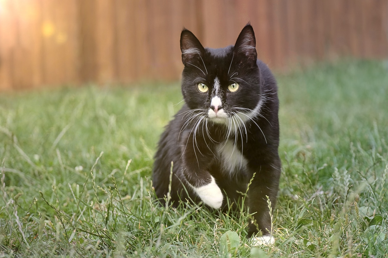chat chasse noir blanc jardin