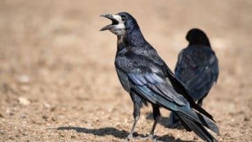 corbeau freux oiseau