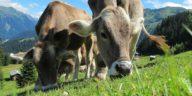 vaches qui broutent