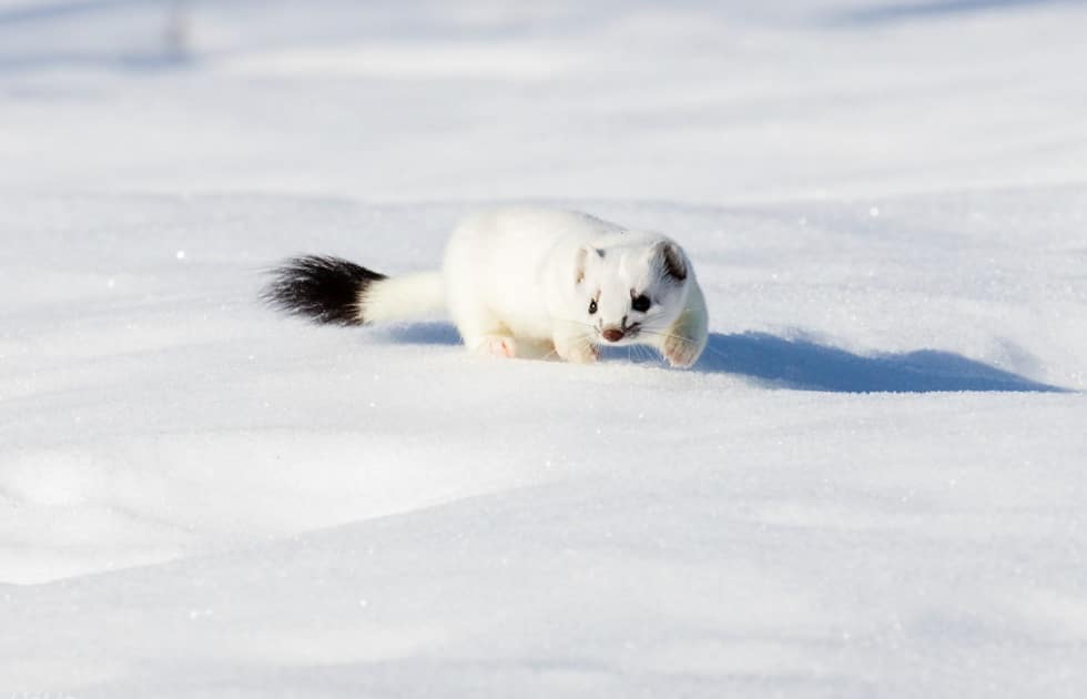 hermine arctique