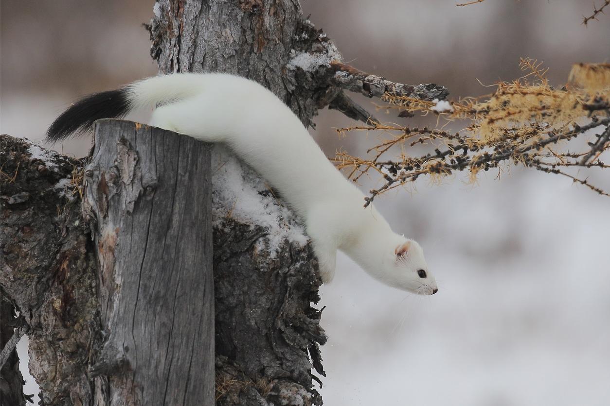 hermine blanche hiver