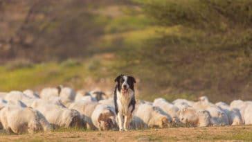 border collie moutons