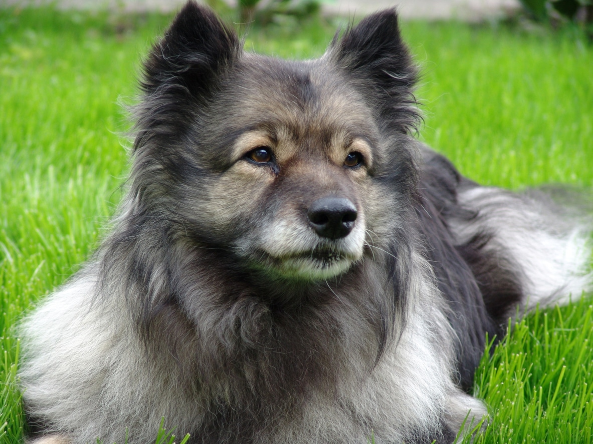 chien spitz loup