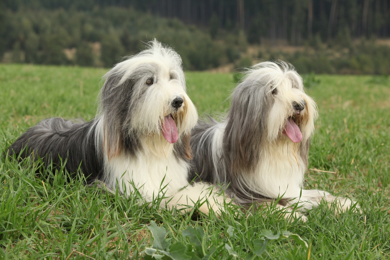 chiens bearded collie