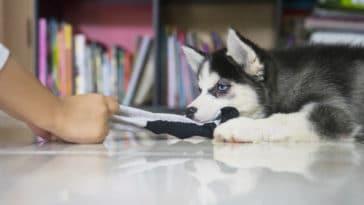 chien mange chaussette