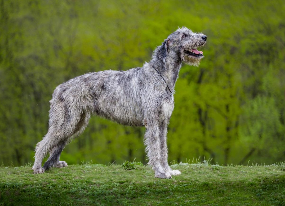 chien lévrier irlandais