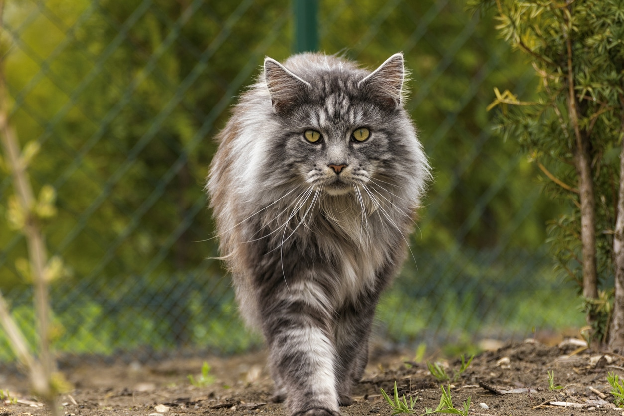 Comment Reconnaitre Un Chat De Race Maine Coon