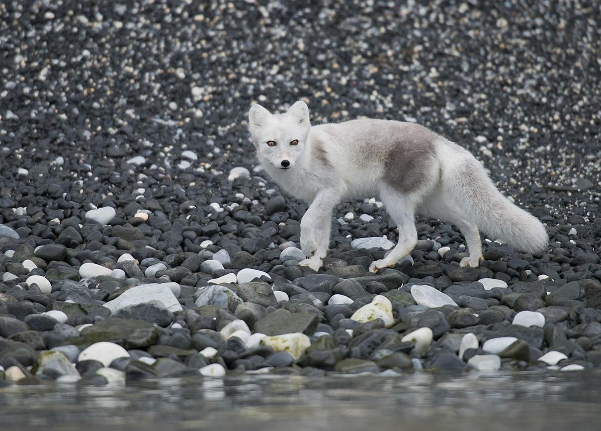 renard polaire arctique