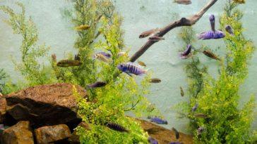 aquarium algues