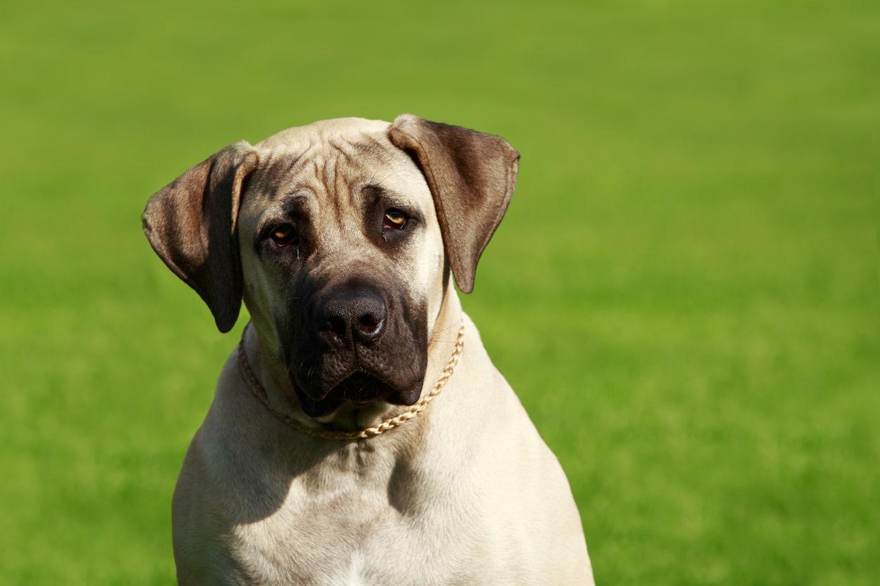 chien mastiff anglais