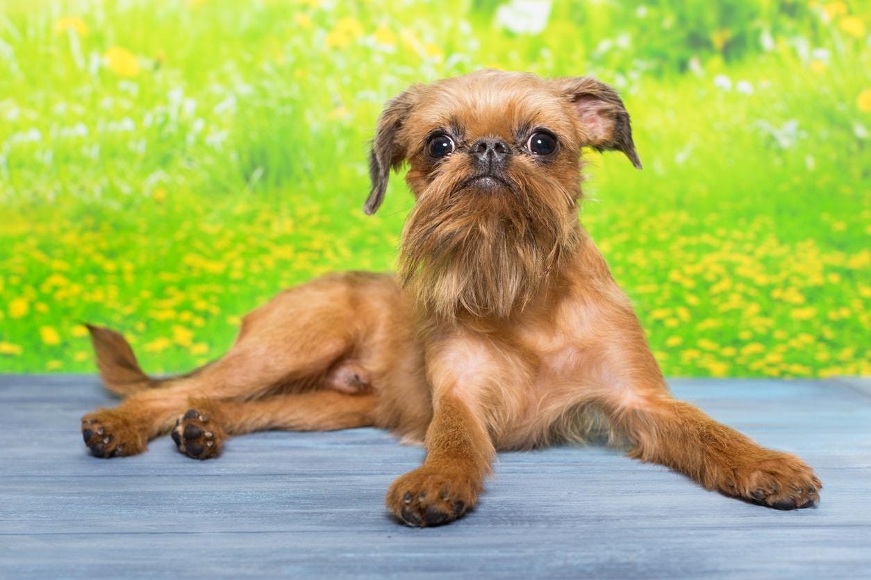 chien griffon bruxellois