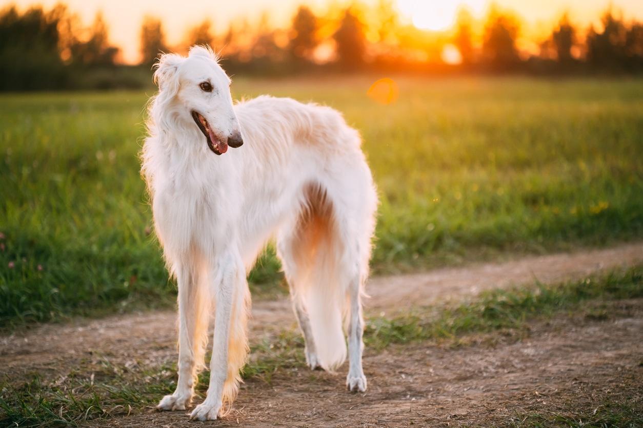 chien barzoï