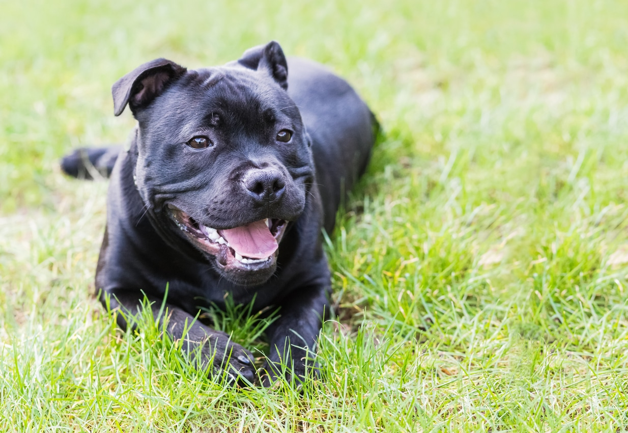 chien staffordshire bull terrier