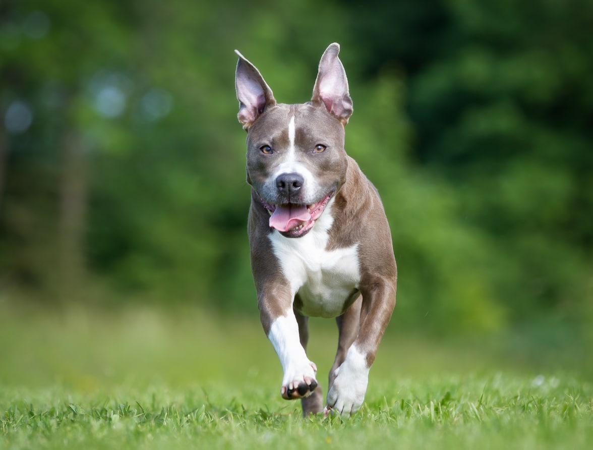 chien american staffordshire terrier