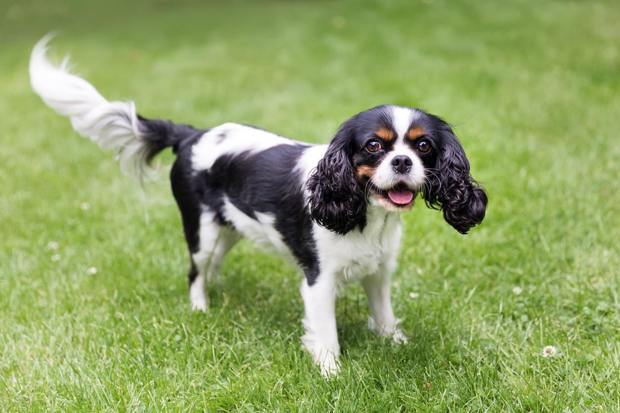 chien cavalier king charles