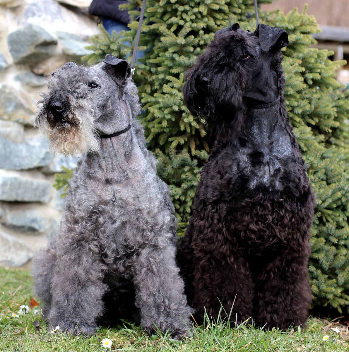 chien kerry blue terrier