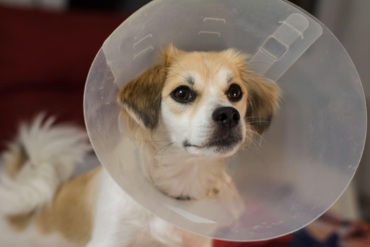 cornet collerette vétérinaire chien
