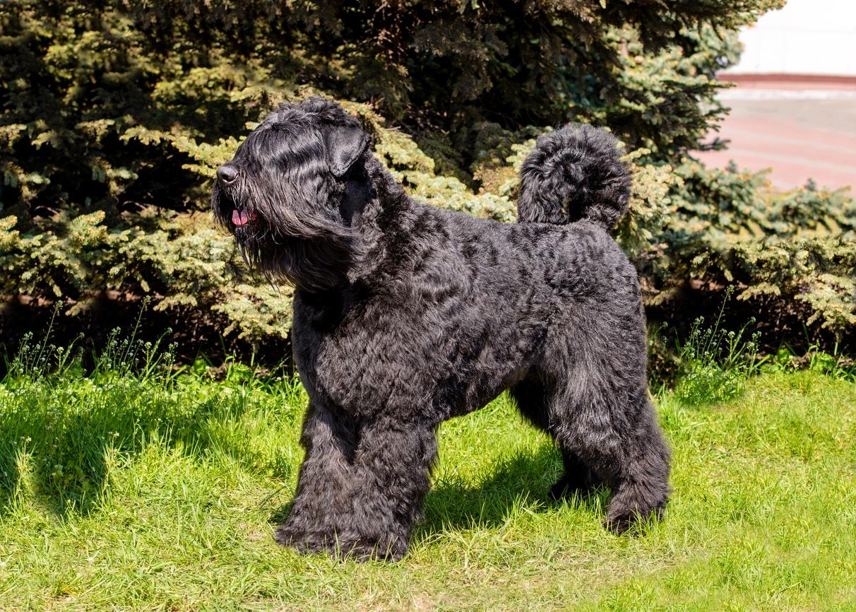 chien Bouvier des Flandres