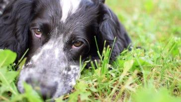 chien yeux rouges