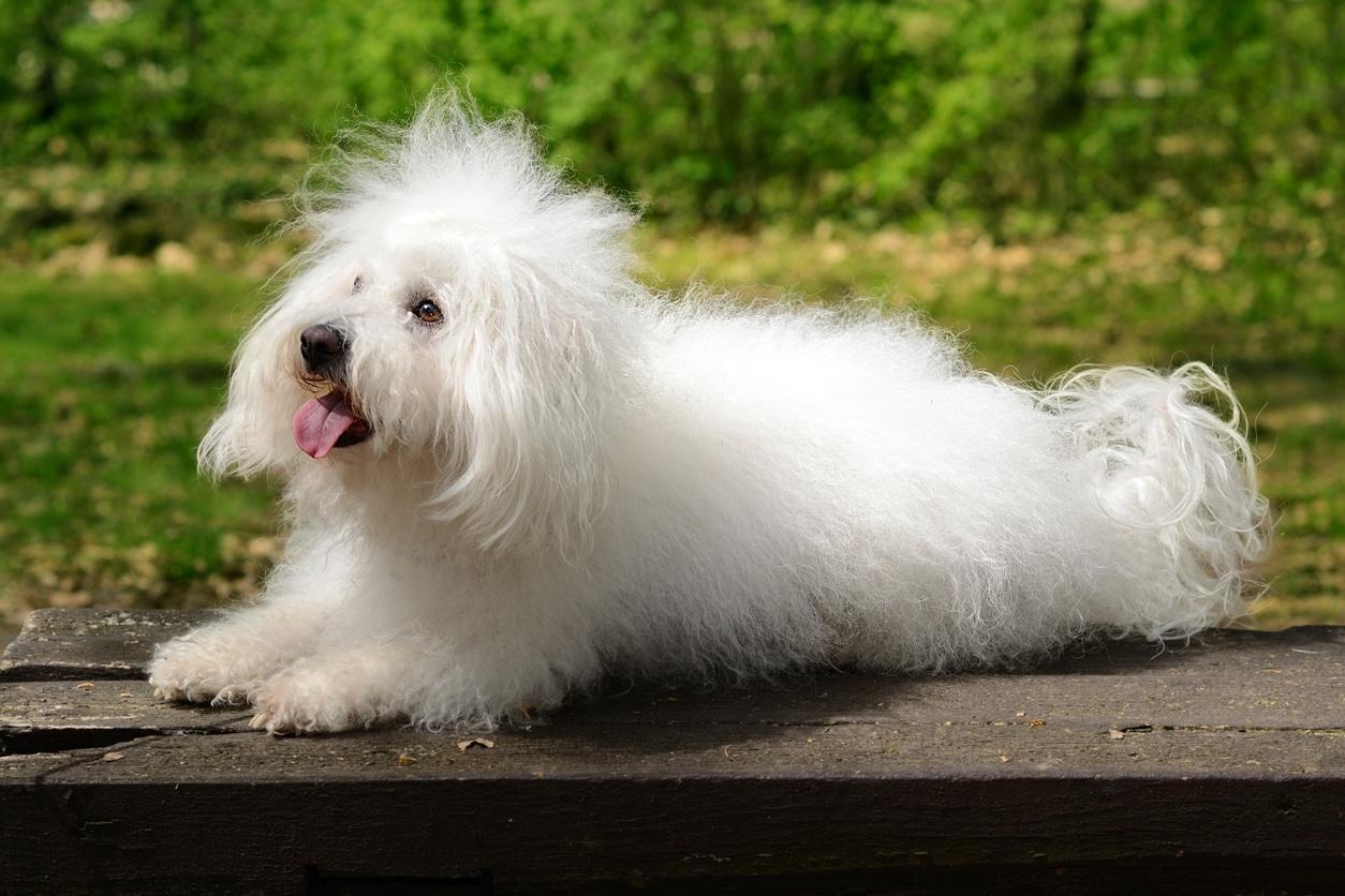 chien bichon bolonais