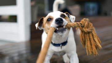 chien tir à la corde