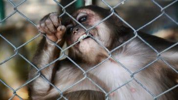 singe cage commerce illégal trafic