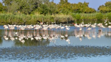 flamants roses France Provence