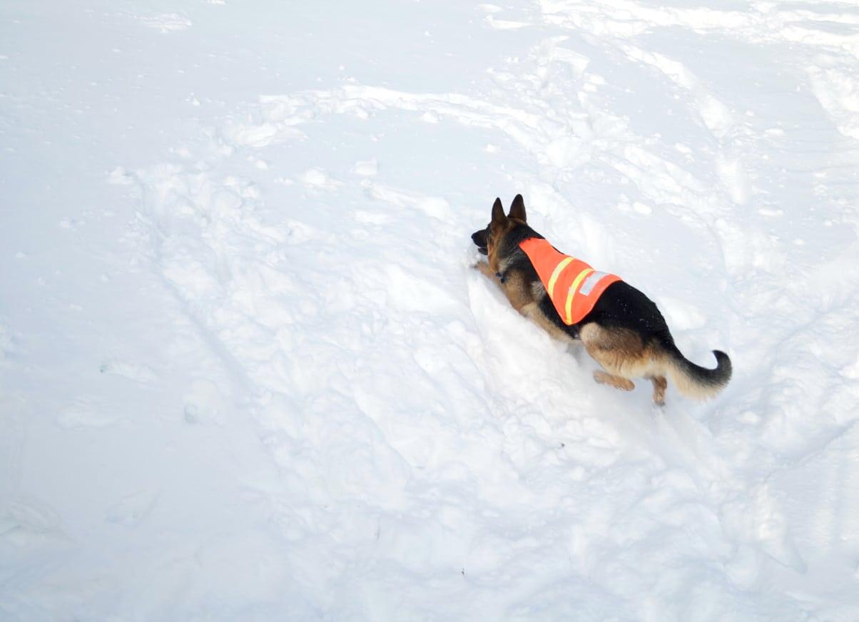 Chien sauveteur avalanche