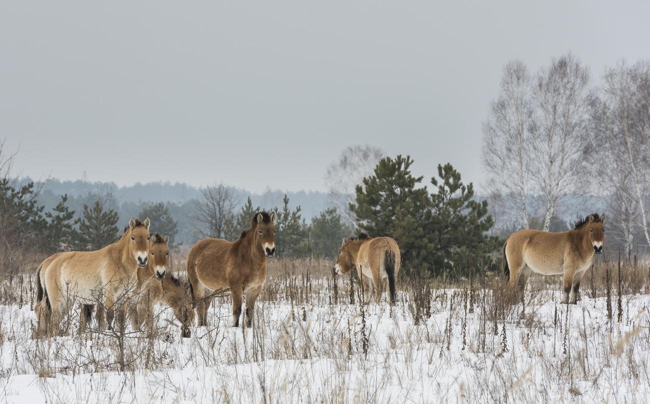 chevaux de Przewalski Tchernobyl