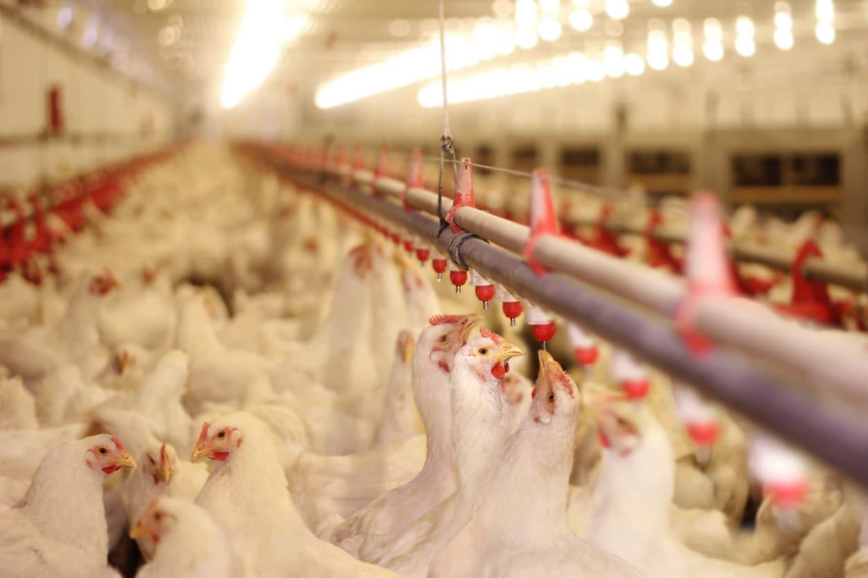 poules élevage