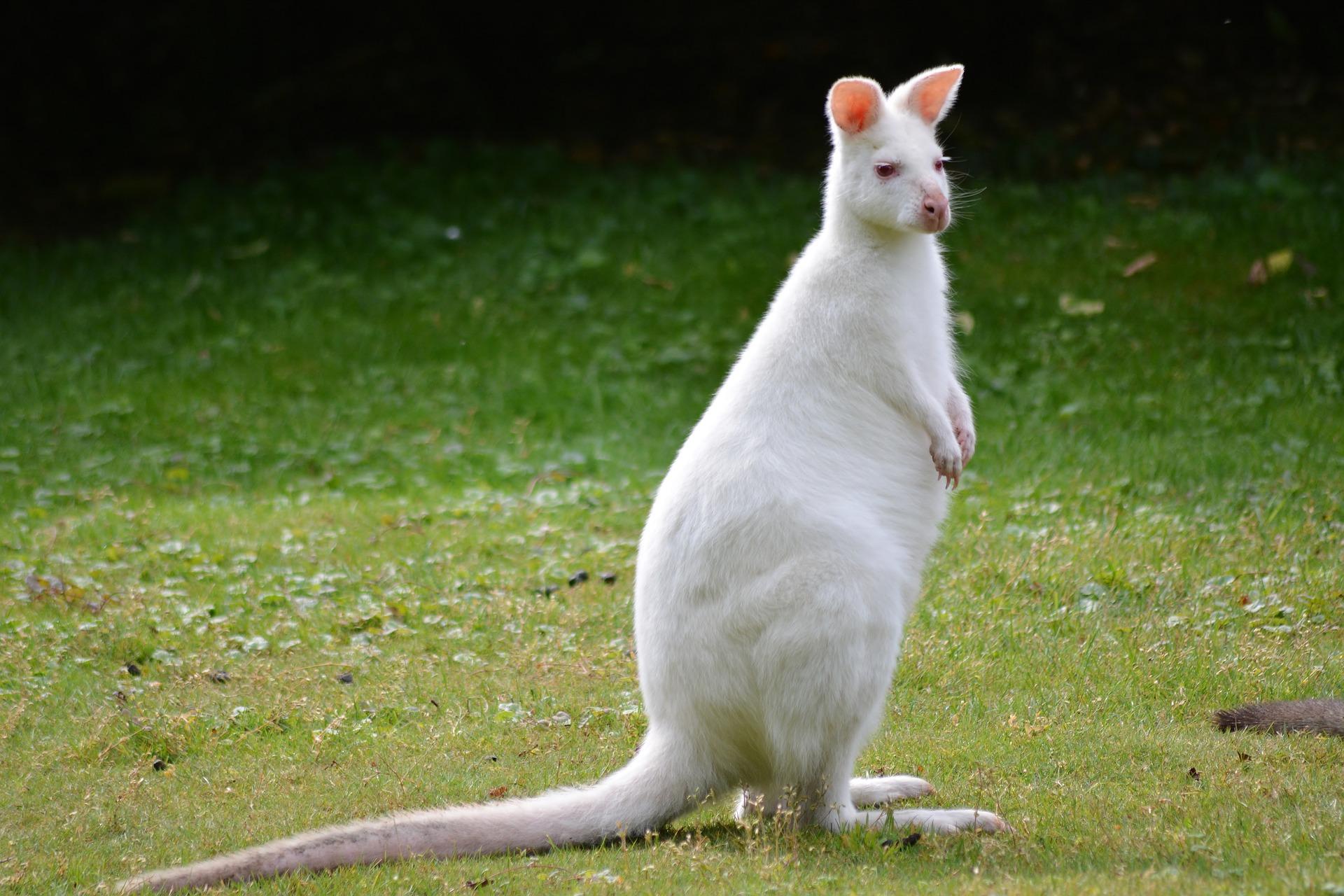 Kangourou albinos