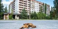 renard Tchernobyl zone d'exclusion