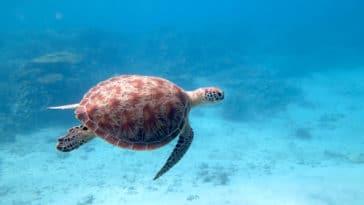 tortue de mer Mayotte