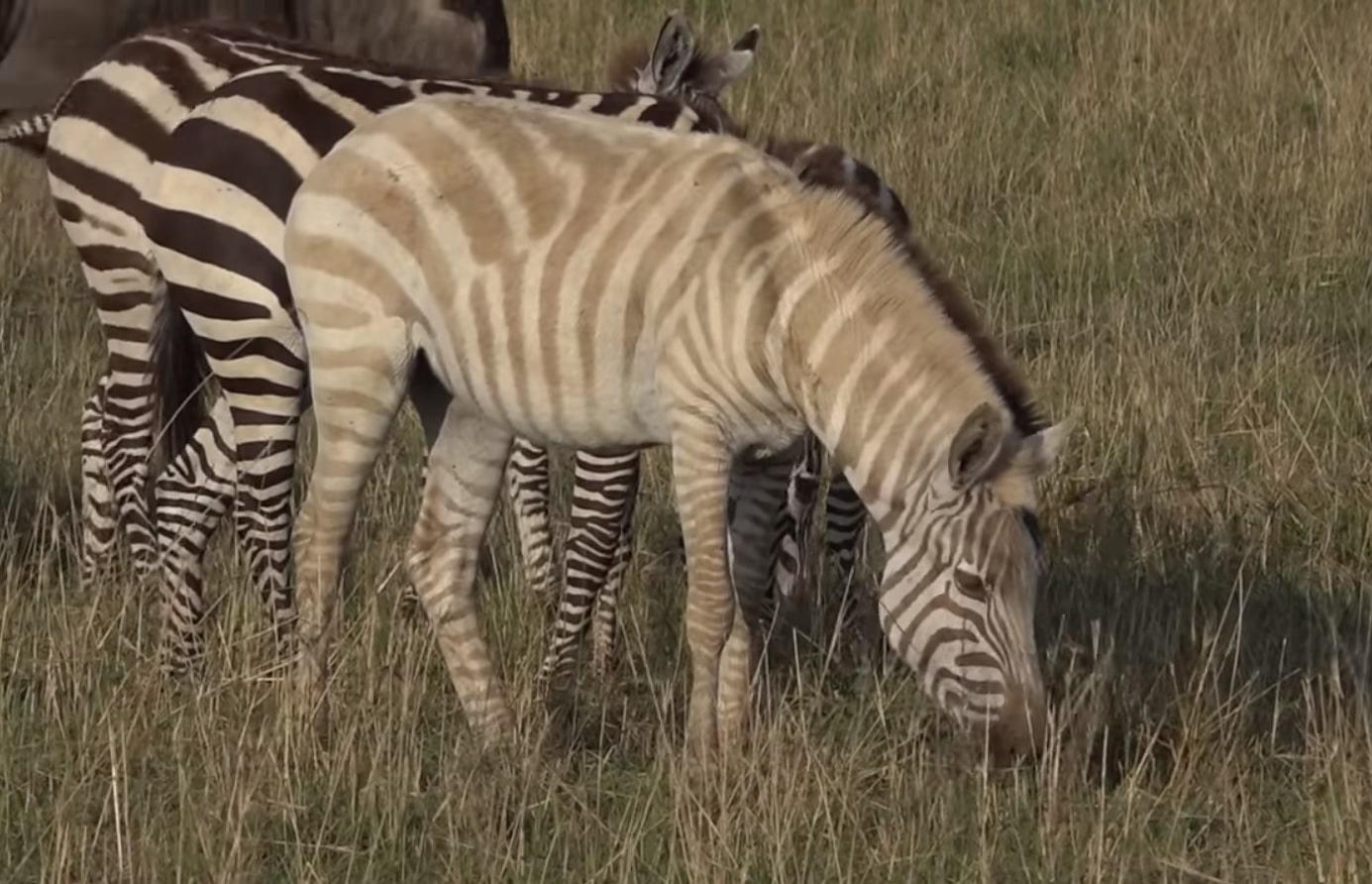 Zebre albinos