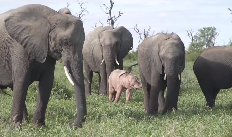 Elephant albinos