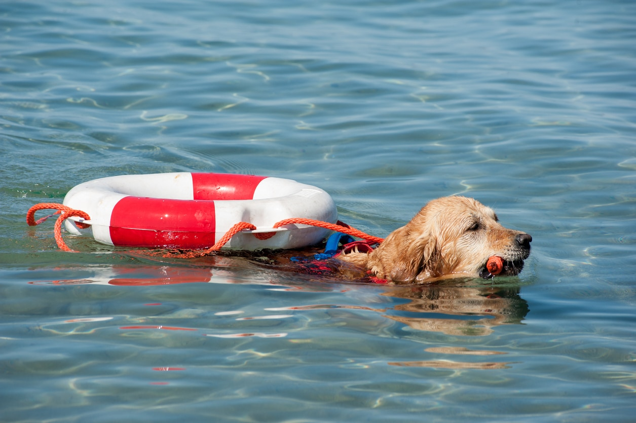 Chien sauveteur en mer