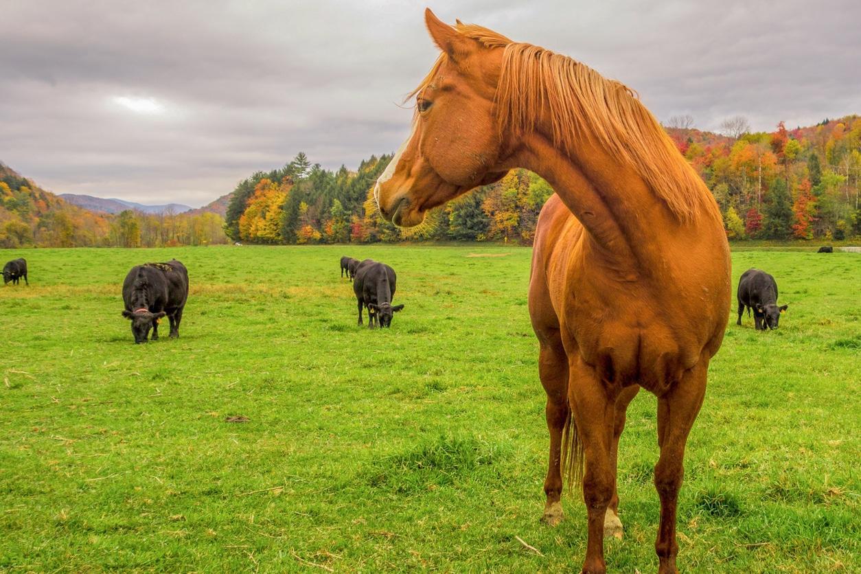 Cheval et vaches
