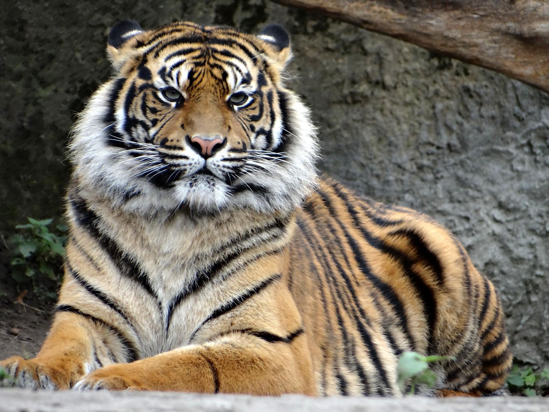 Tigre sumatra