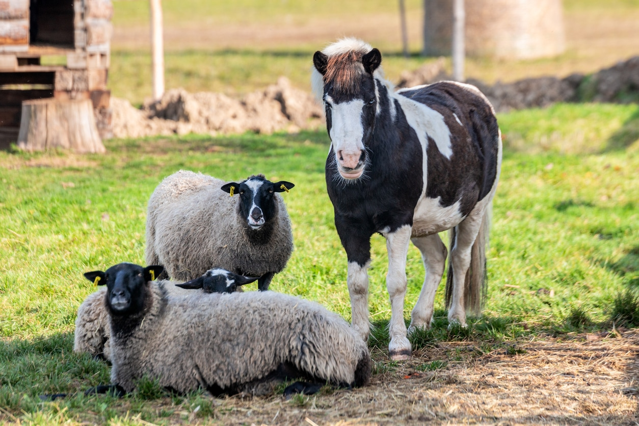 cheval (poney) et moutons