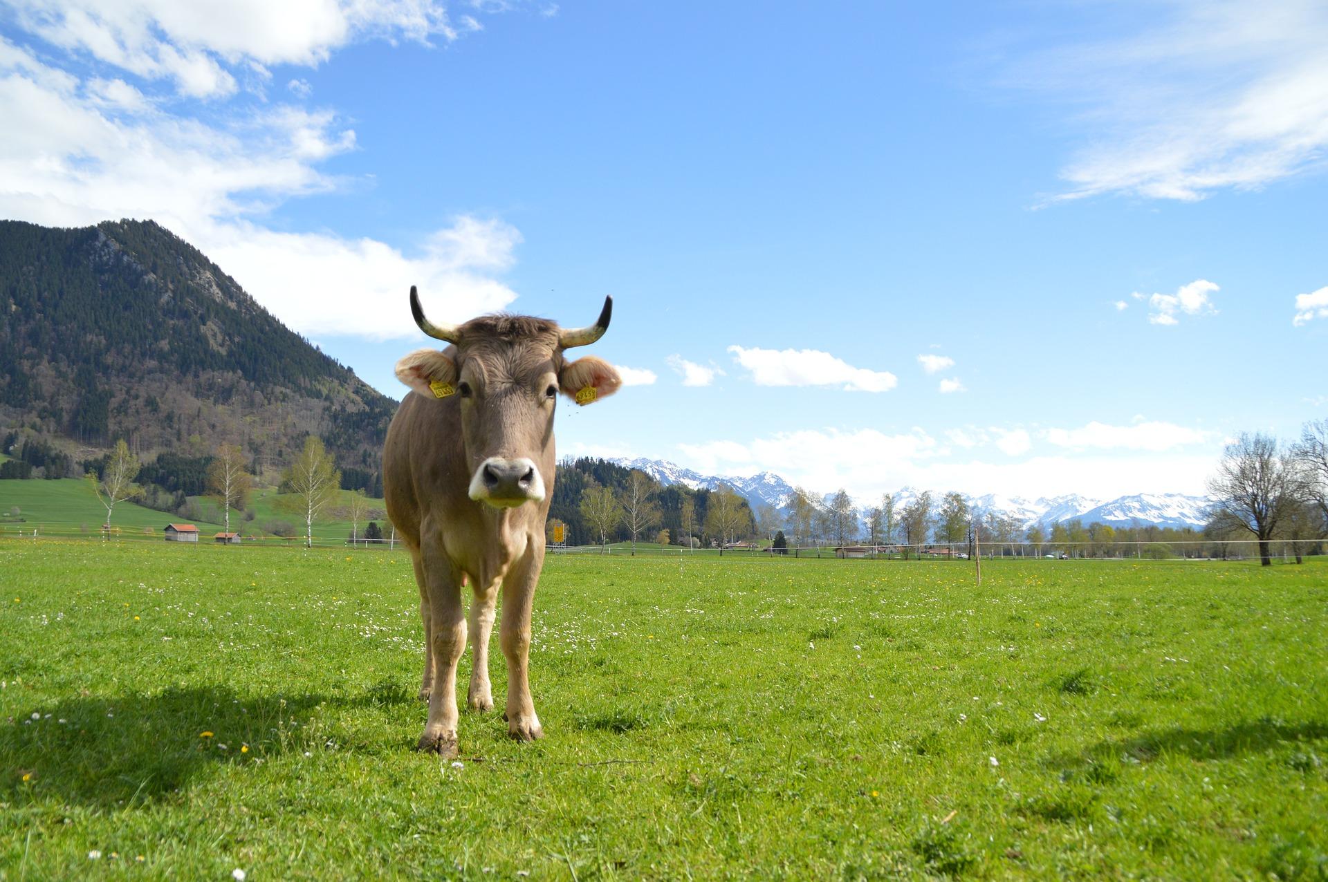 Vache brune