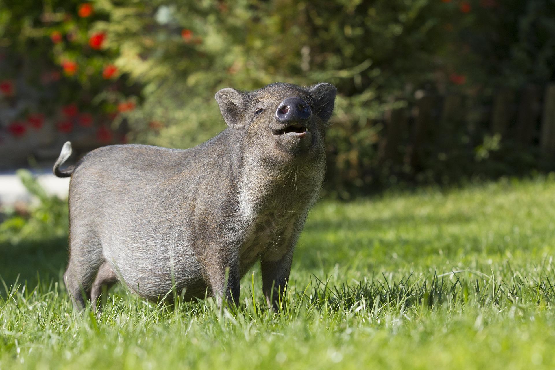 Cochon de compagnie