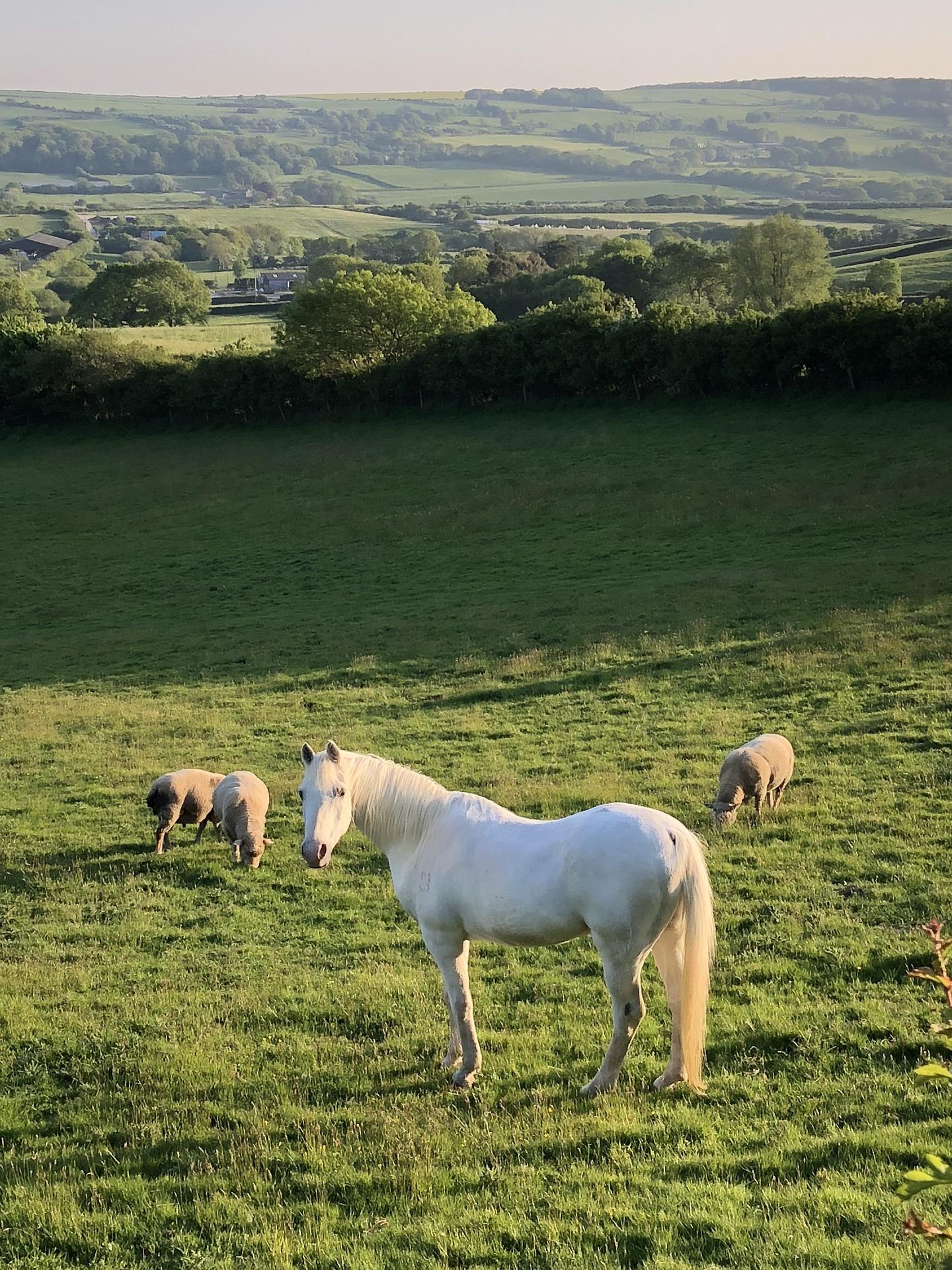 cheval et moutons