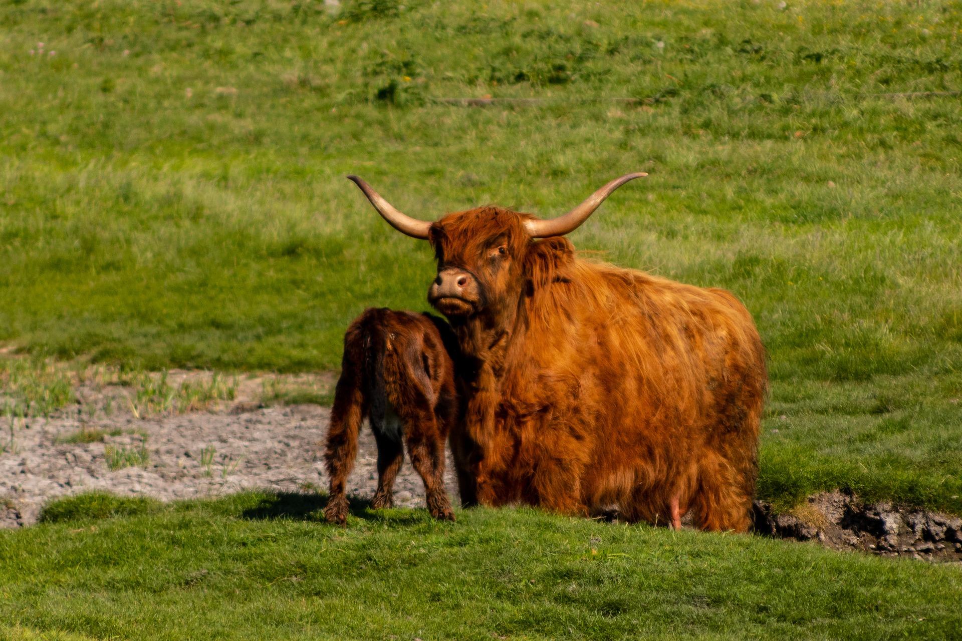 Vache Highland cattle