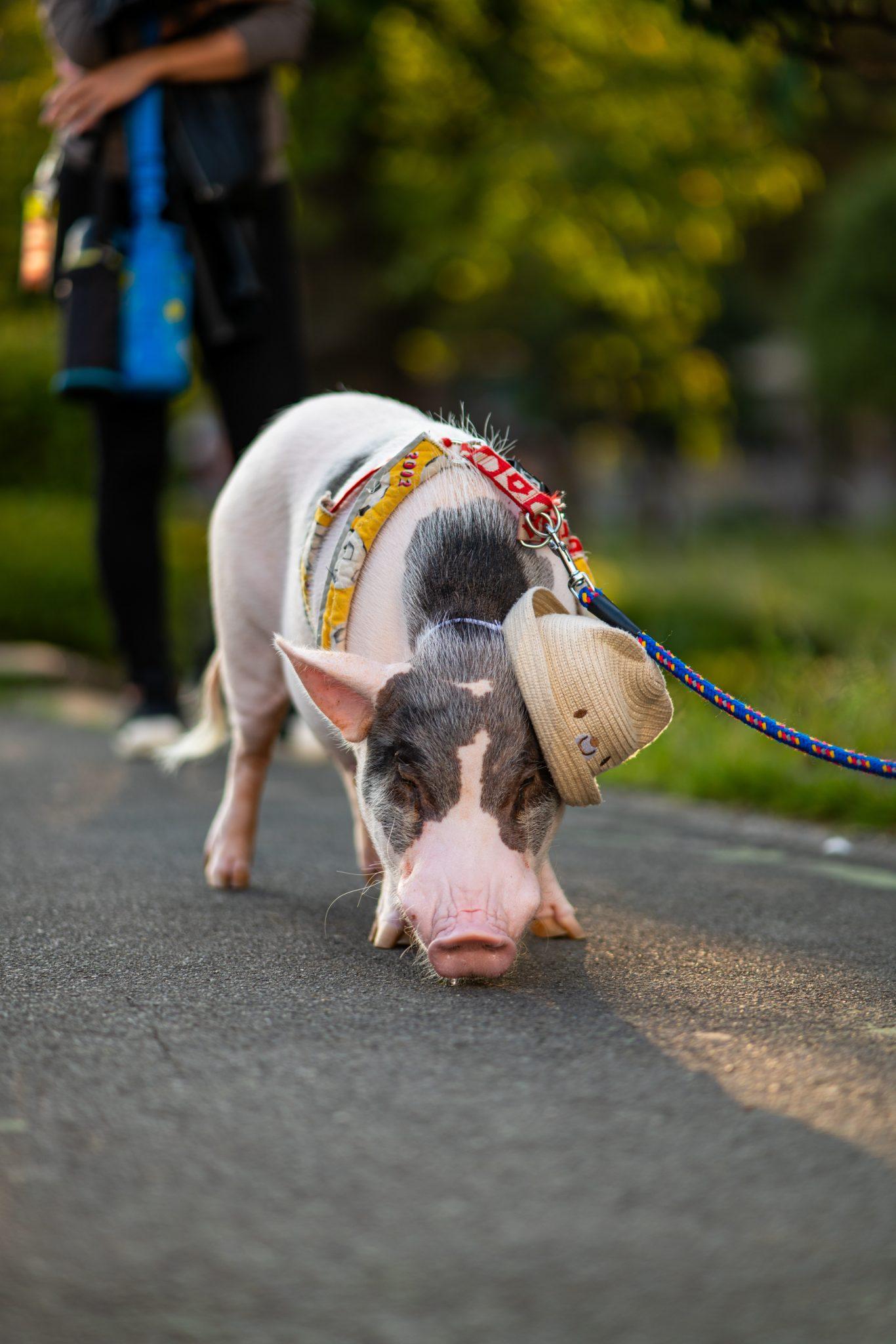 cochon de compagnie en laisse